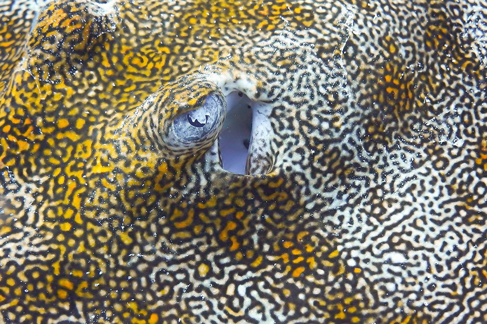 Yellow Stingray while scuba diving in Isla Mujeres, Mexico
