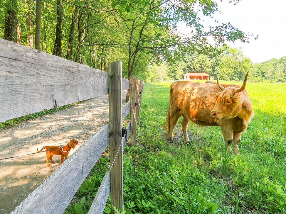 Wander Women Hudson Valley: highland cow and puppy at farm in upstate New York
