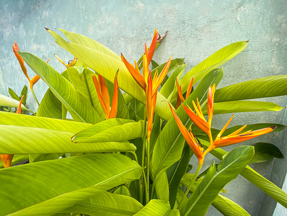 Bird of paradise flower wild in Bangkok